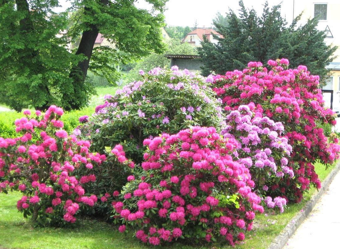 Потрясающие розовые кусты рододендрона