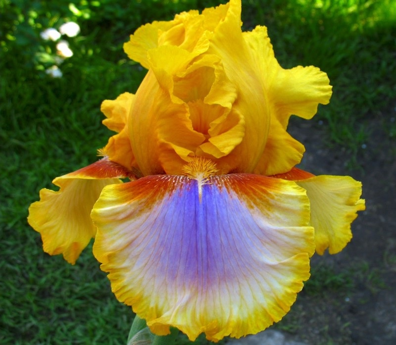Оригинальная расцветка ирис