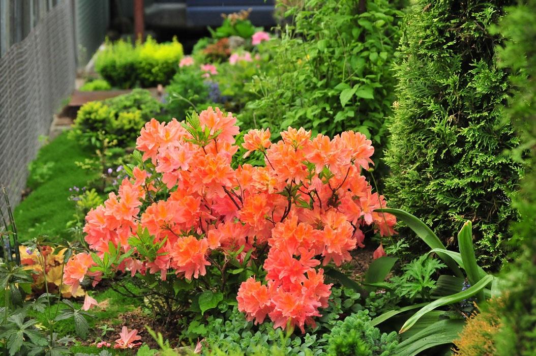 Яркий оранжевый рододендрон