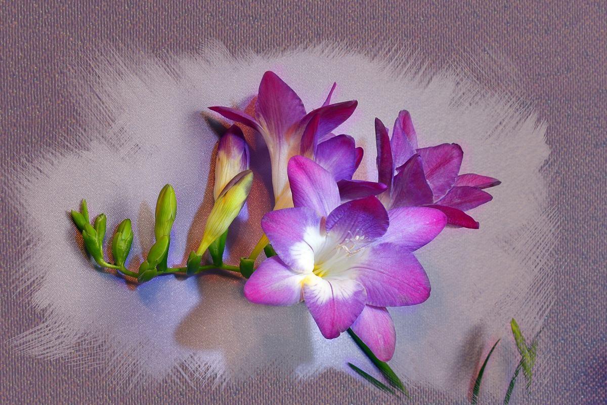 Яркие цветы фрезии