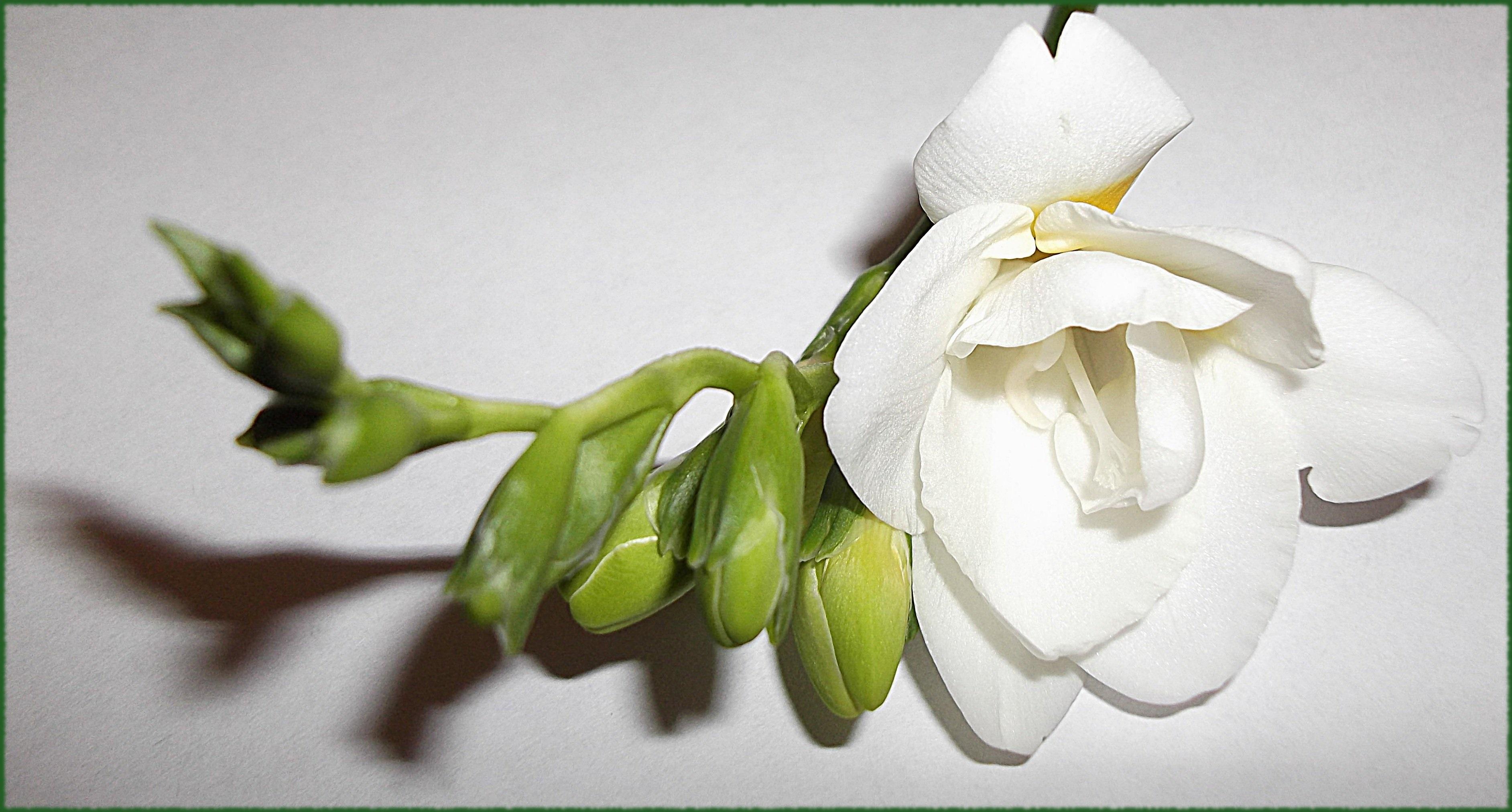 Белая фрезия на зеленой ветке