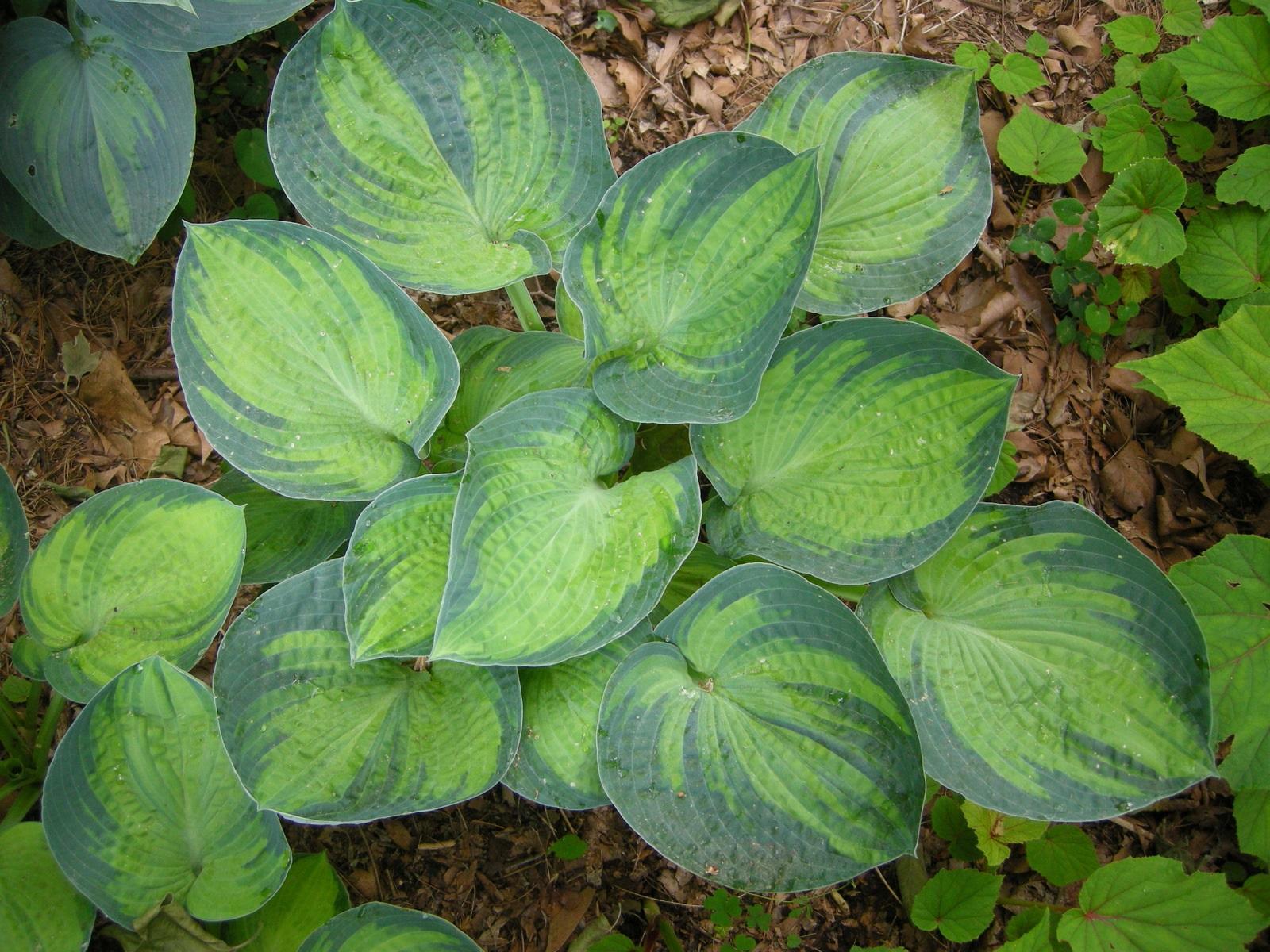 Сочетание оттенков зеленого на листьях хосты