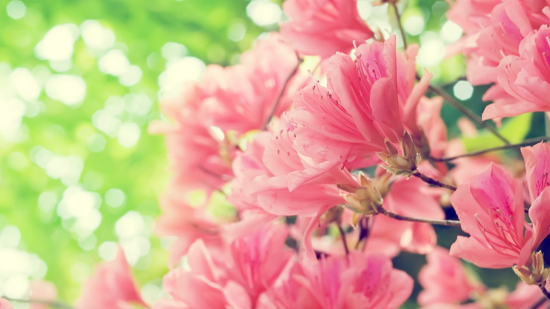 Розовые лепестки рододендрона