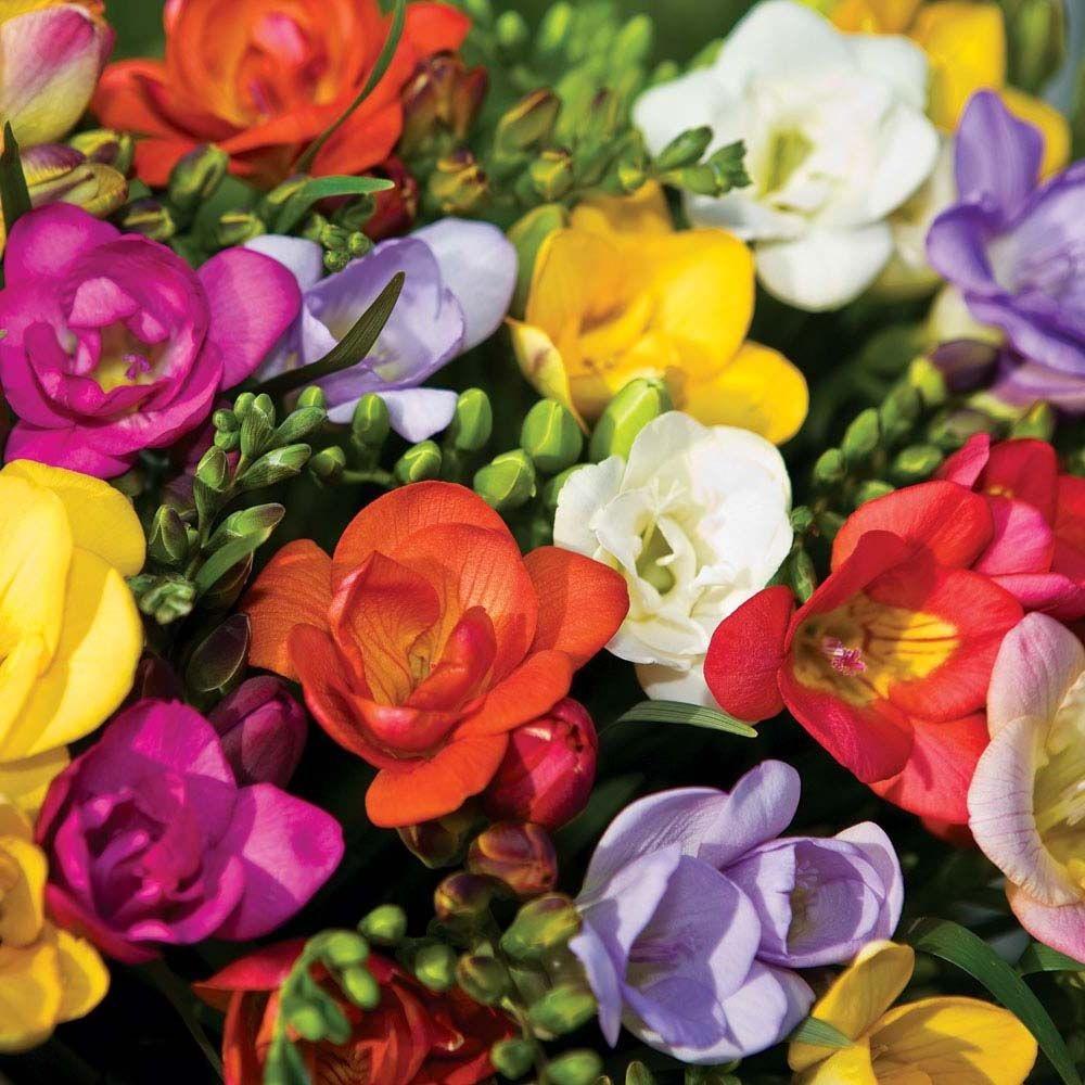 Цветные переливы разнообразной фрезии