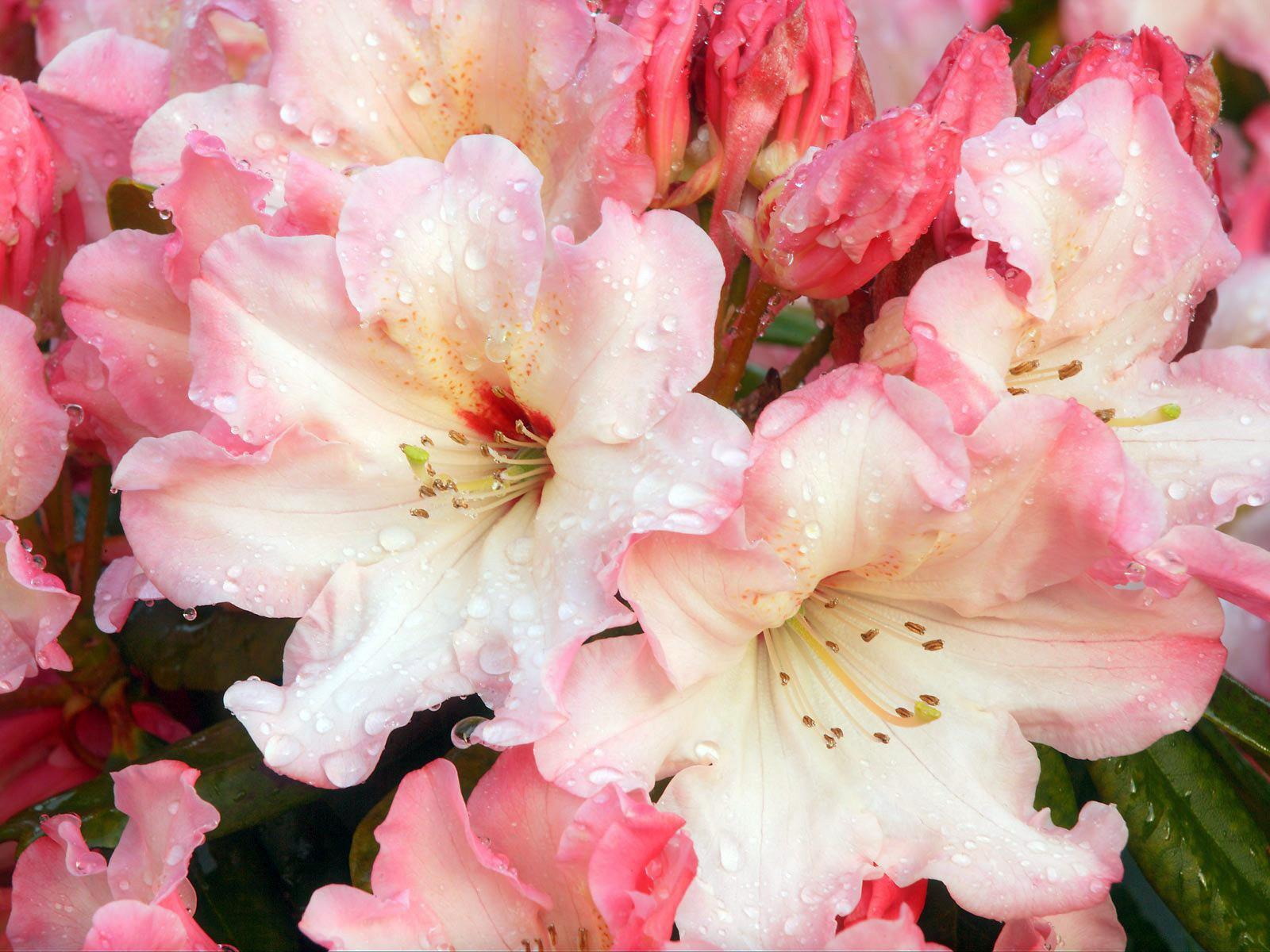 Оригинальная расцветка рододендрона
