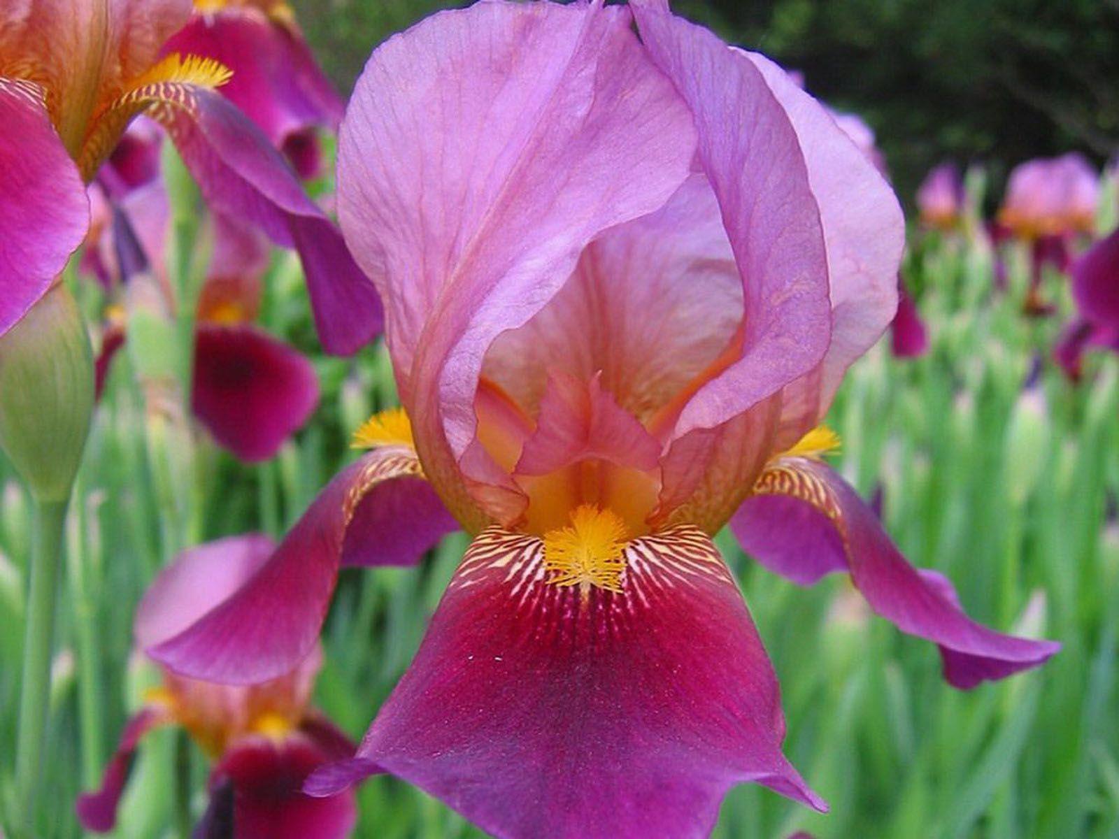 Необычная расцветка ириса