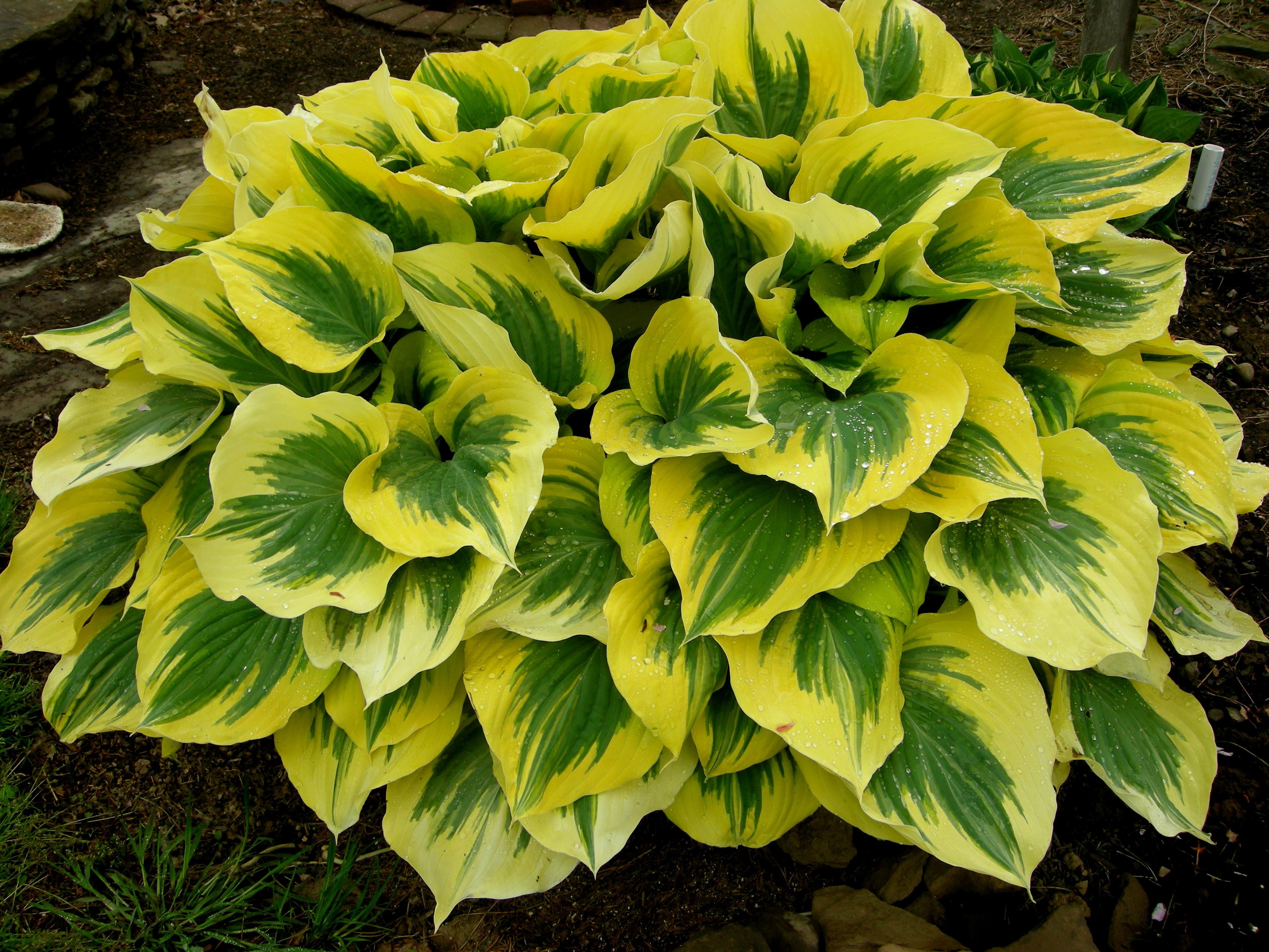 Ярко-желтая окантовка на листьях