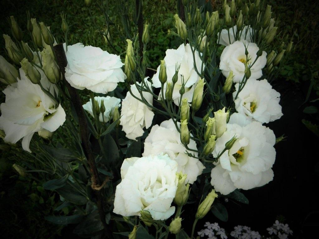Цветы белой эустомы