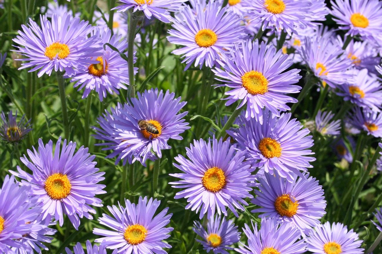 Мелкие цветы сиреневой астры