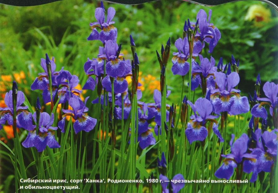Пышное цветение ирисов
