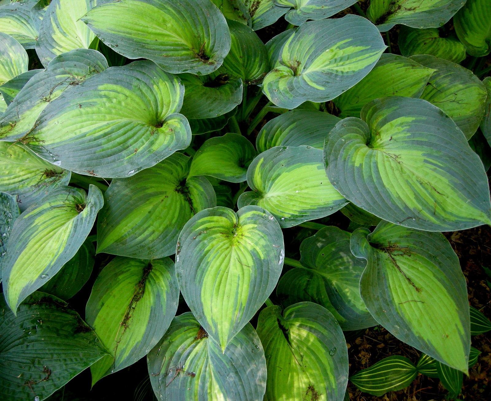 Яркий зеленый на листьях хосты