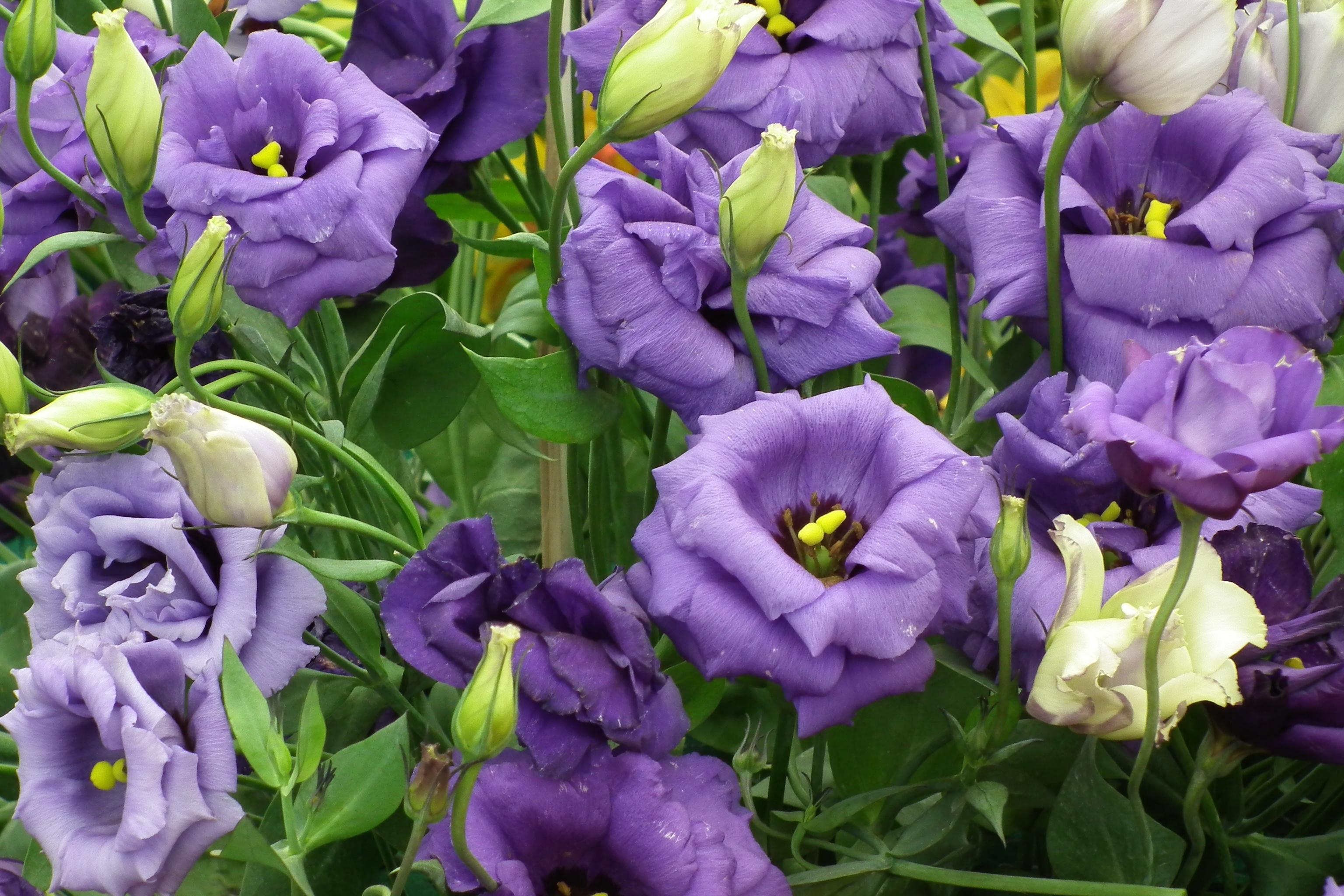 Пышное цветение лизиантуса