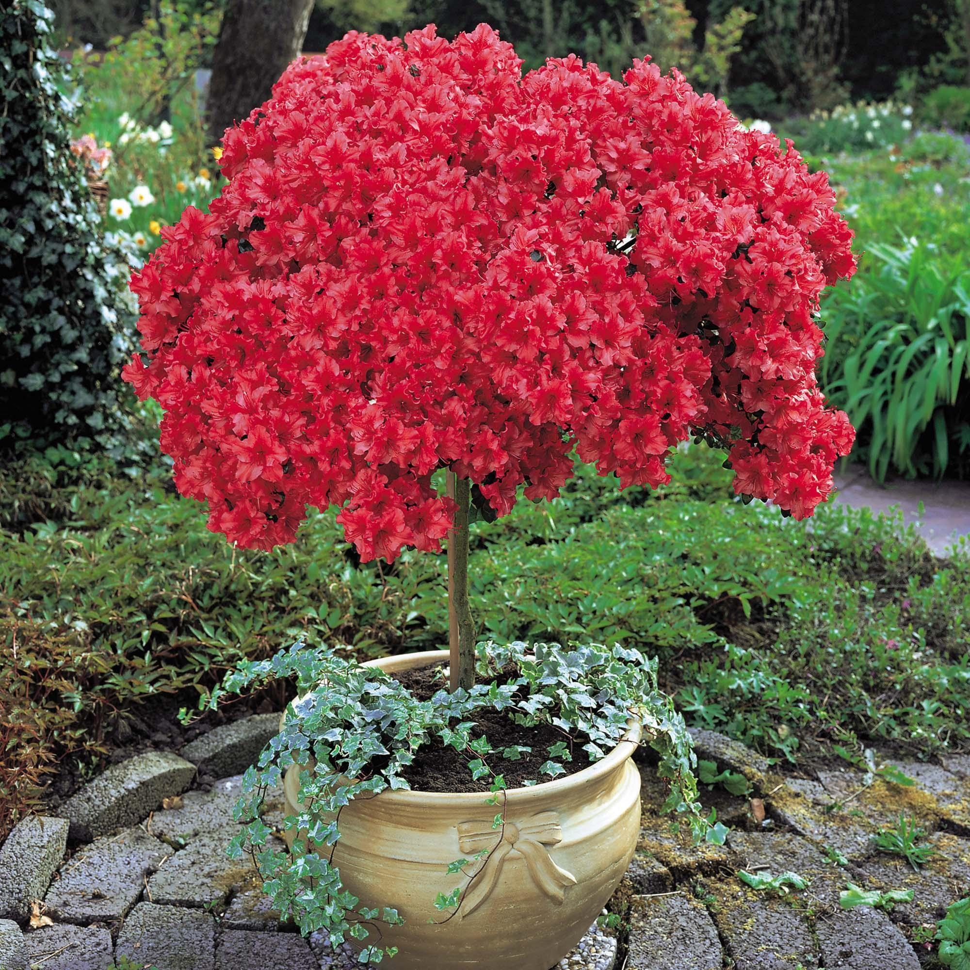 Яркий красный рододендрон