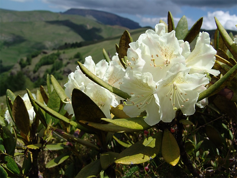 Белый цветок рододендрона
