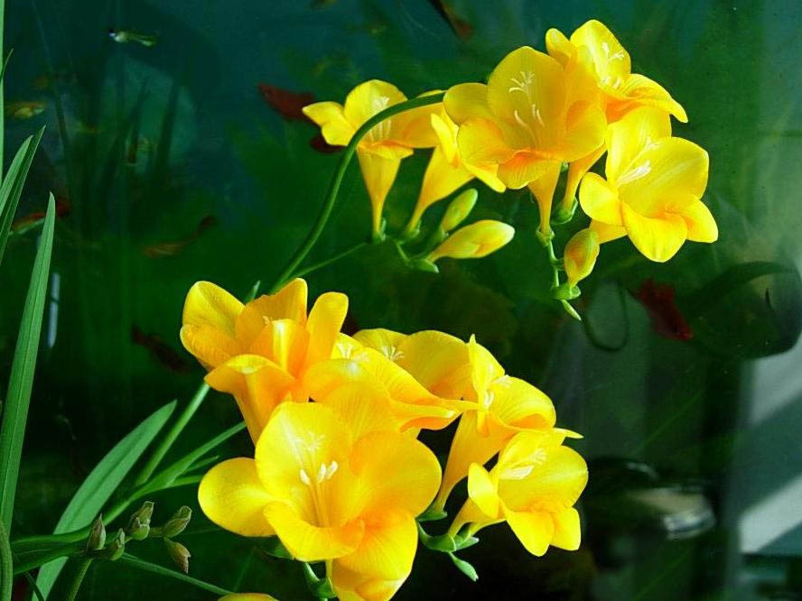 Яркие желтые фрезии