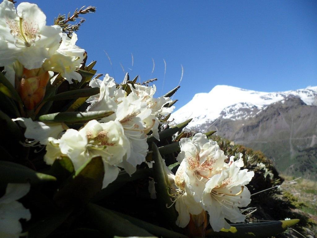 Белые соцветия рододендрона