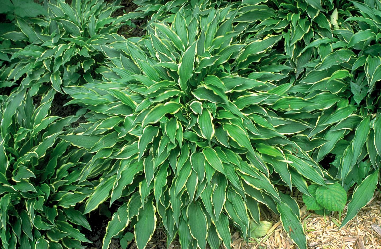 Удлиненные листья хосты