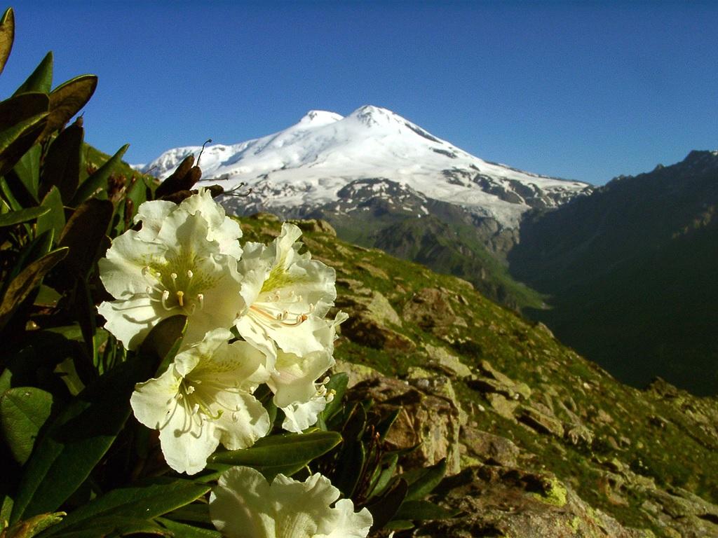 Рододендрон в горах