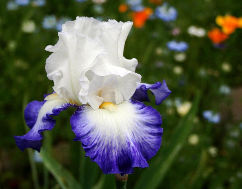 Белый ирис с синей каймой