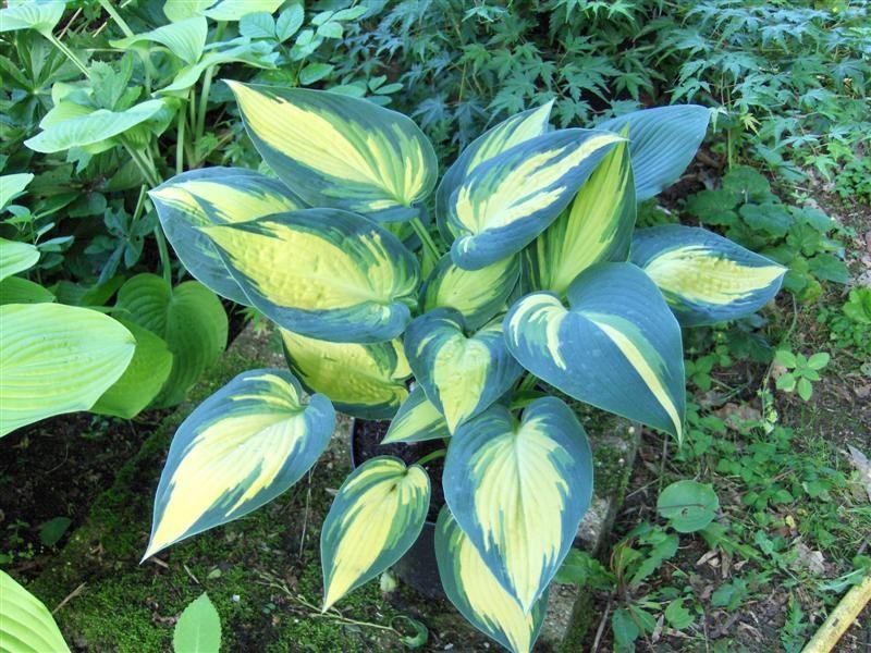 Контрастное сочетание цветов на листьях
