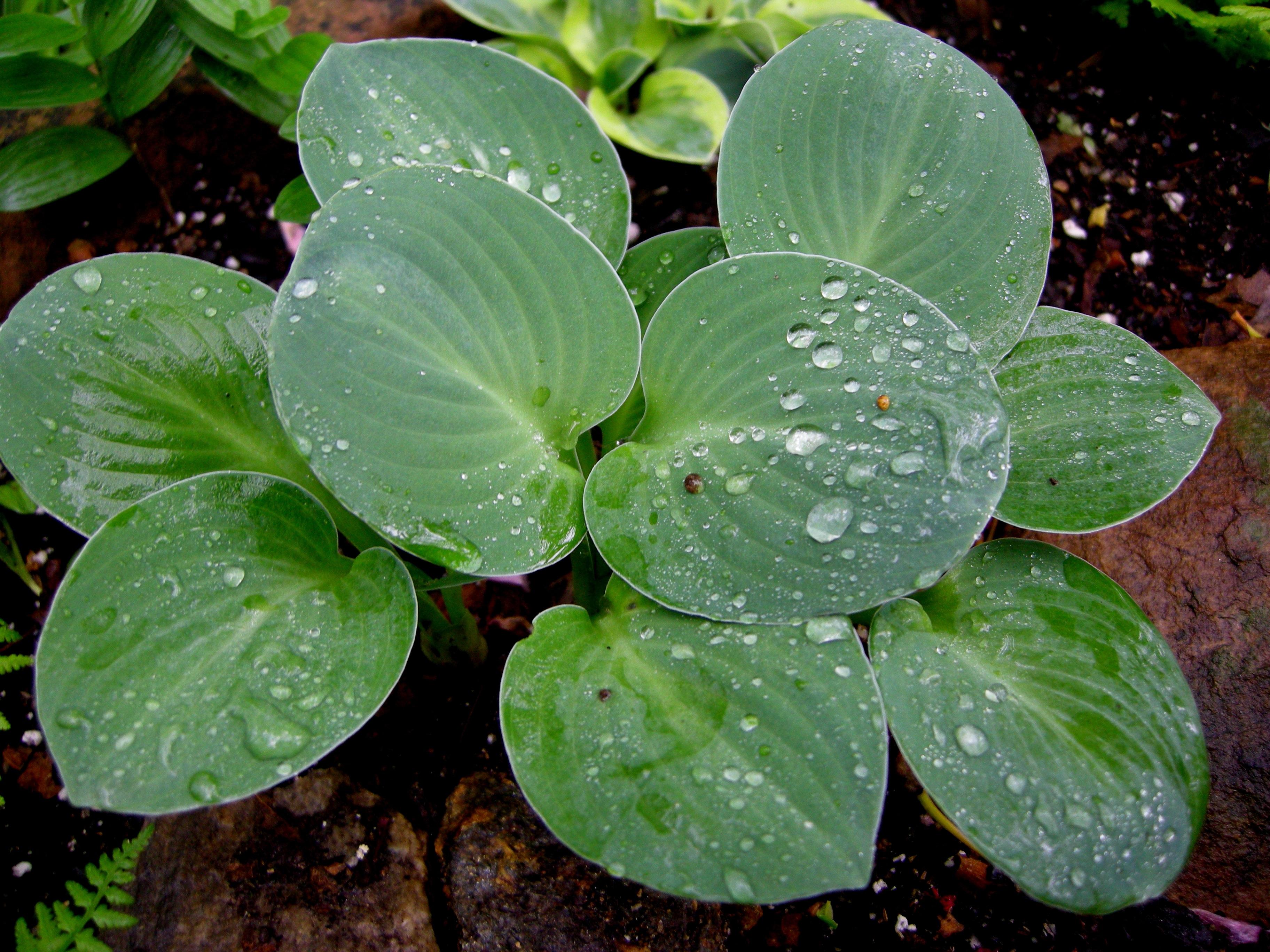 Округлые листья хосты