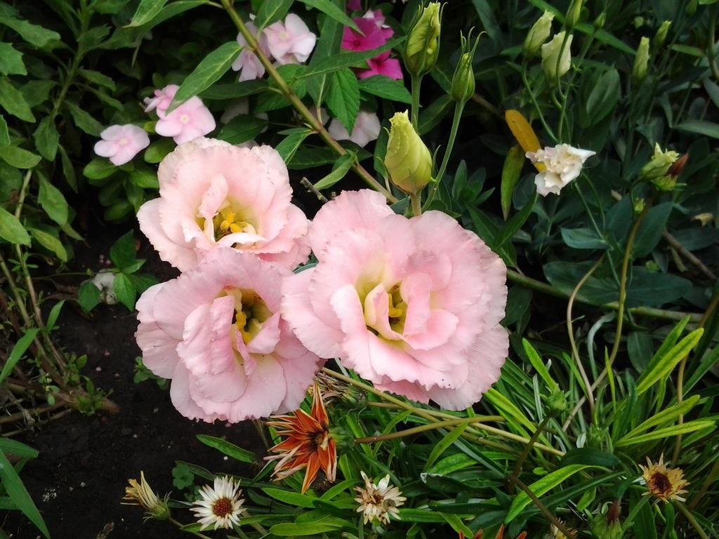 Розовые лепестки лизиантуса