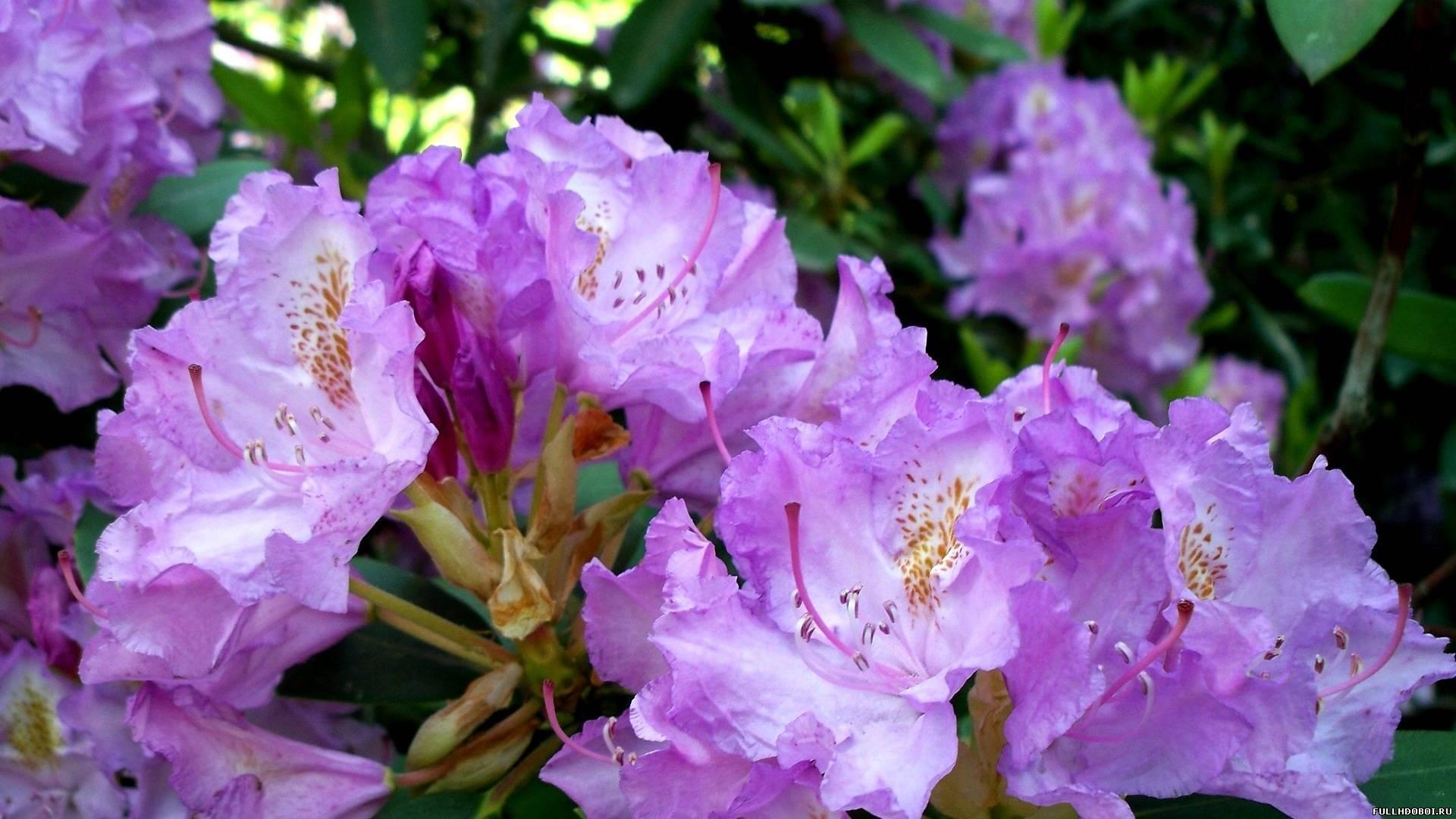 Нежные соцветия рододендрона