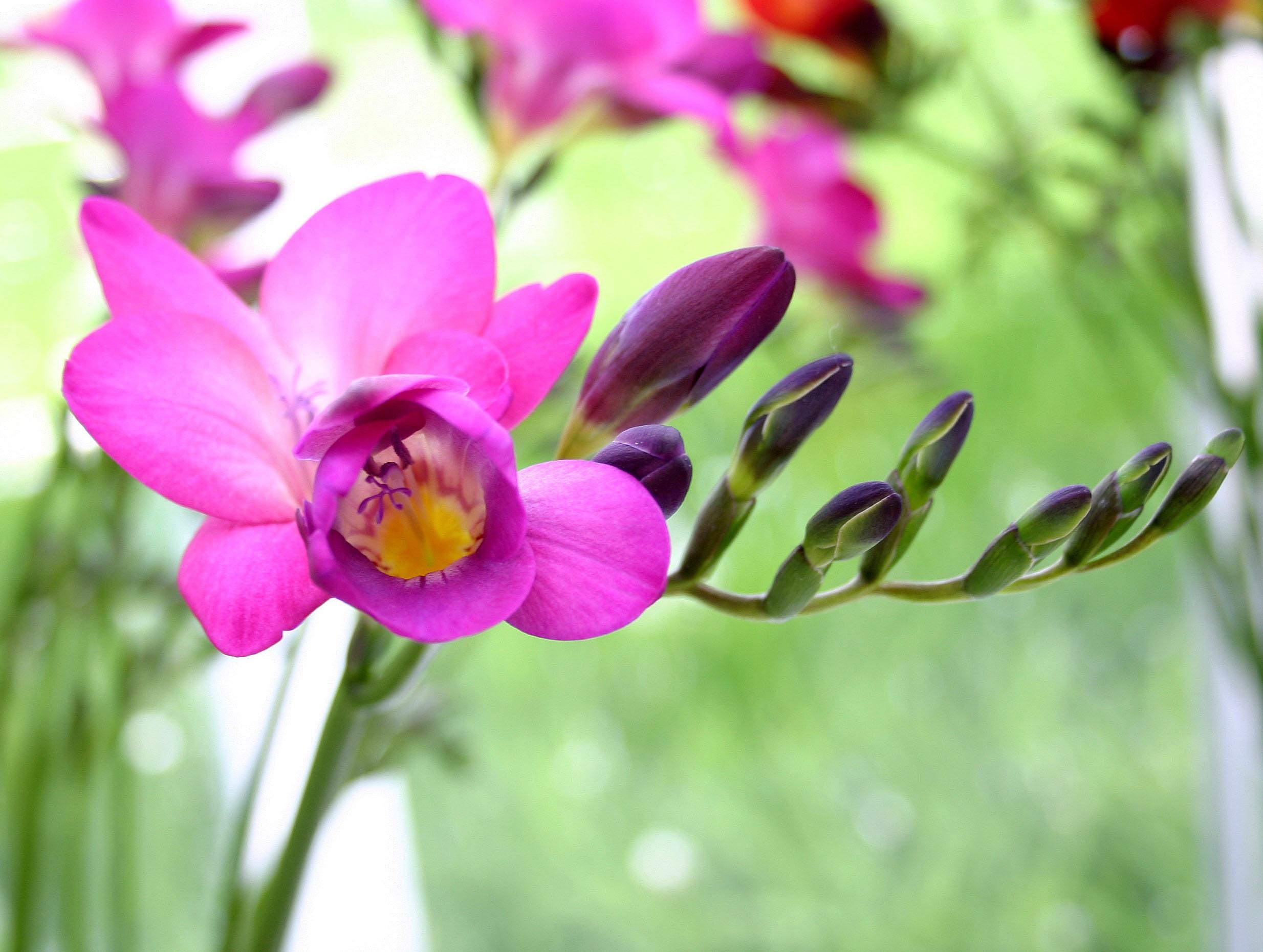 Ярко-розовый цветок фрезии