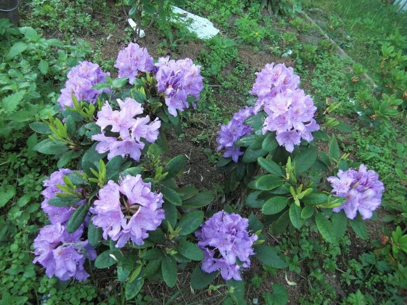 Сиреневый рододендрон в саду