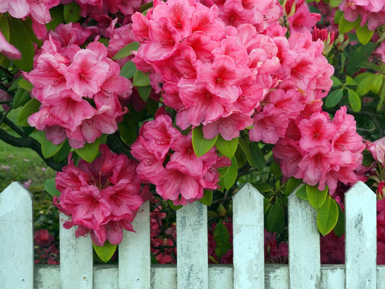 Розовые цветы рододендрона в саду