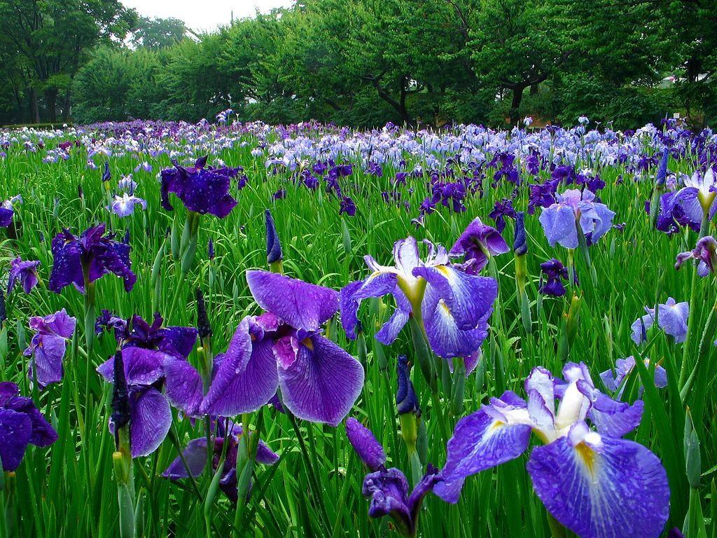 Плантация цветущих ирисов