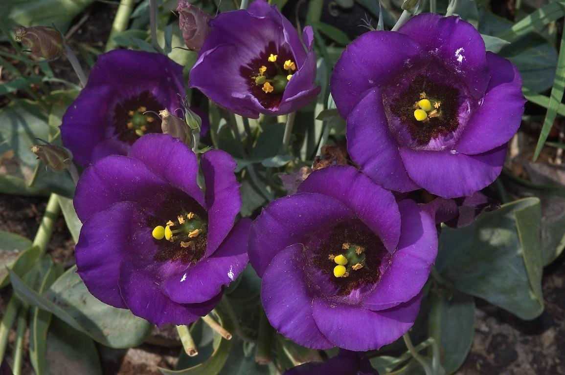 Темно-фиолетовые цветы эустомы