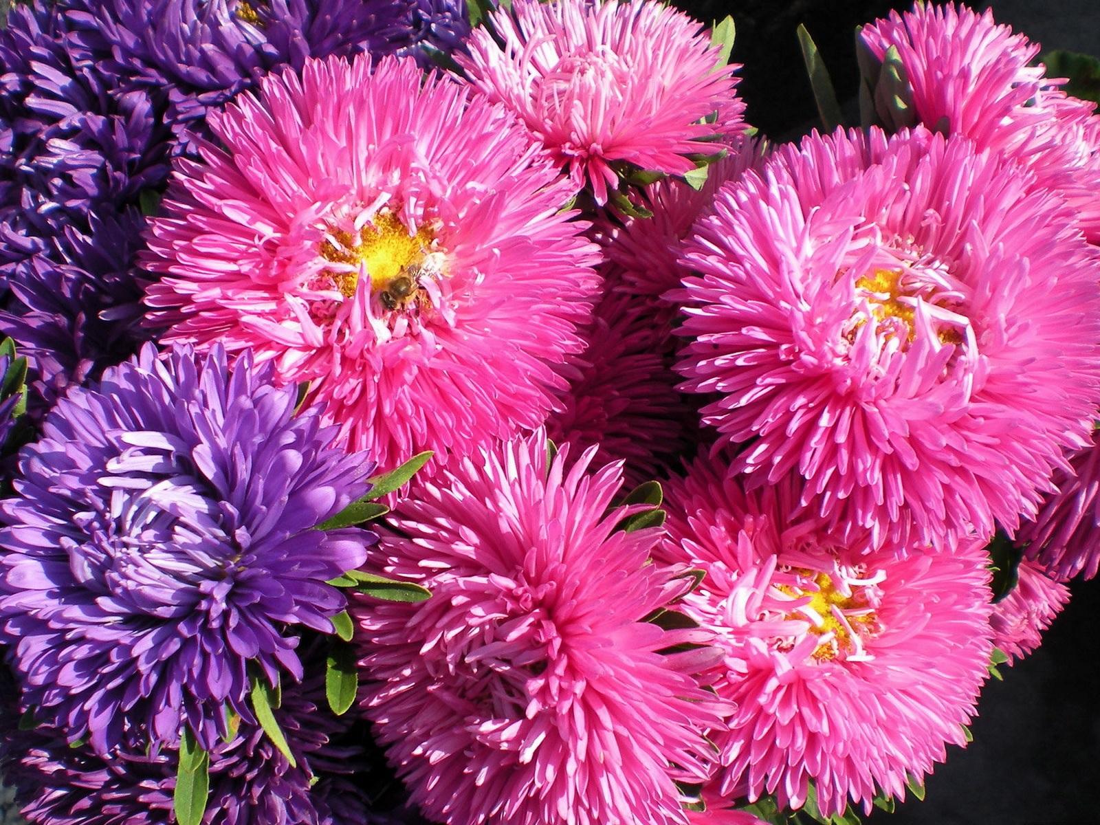 Пестрые цветы астр