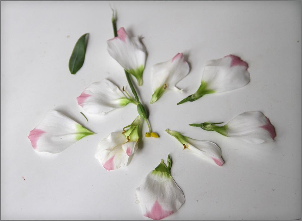 Лепестки двухцветного лизиантуса