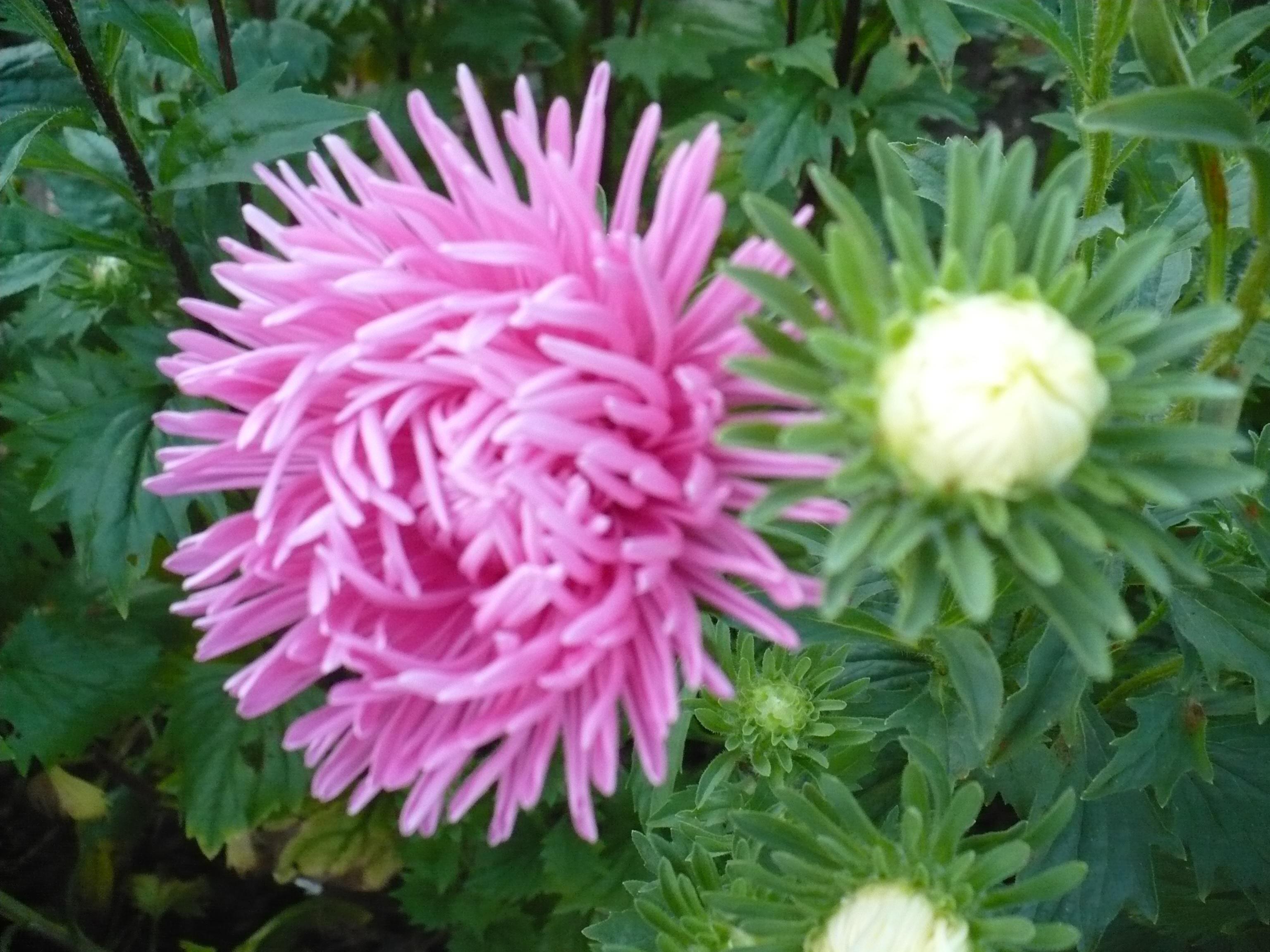 Округлый цветок астры
