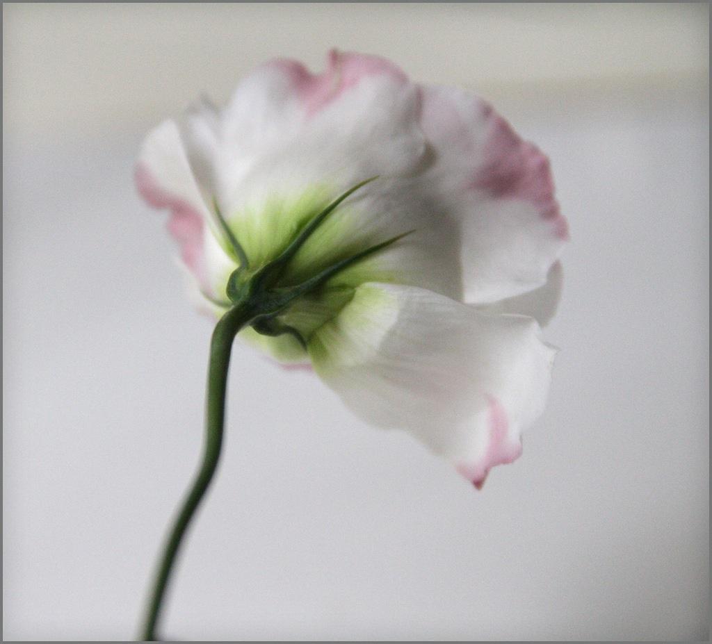 Цветок лизиантуса сбоку