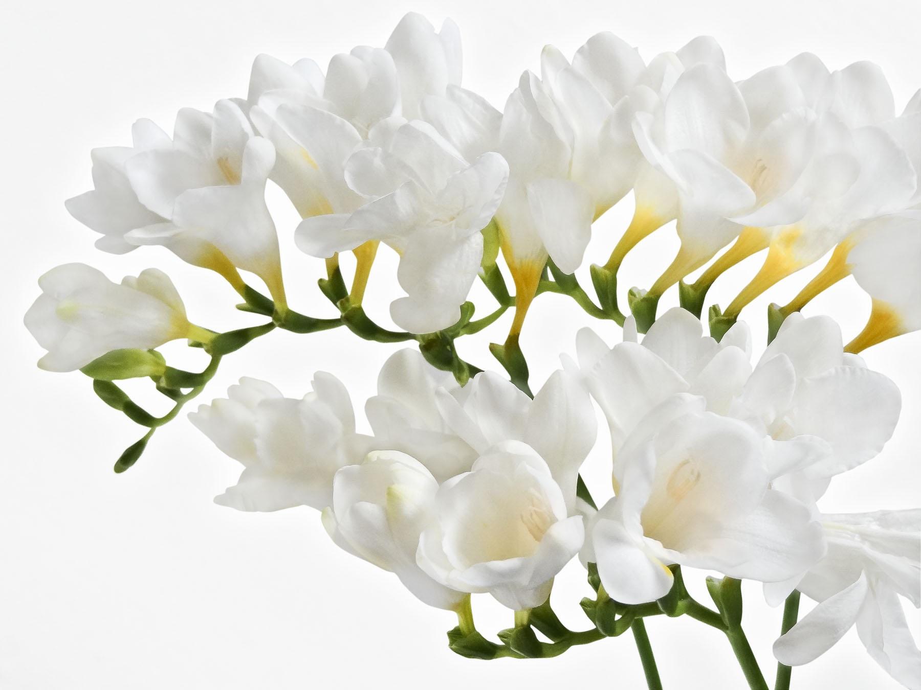 Пышное цветение белой фрезии