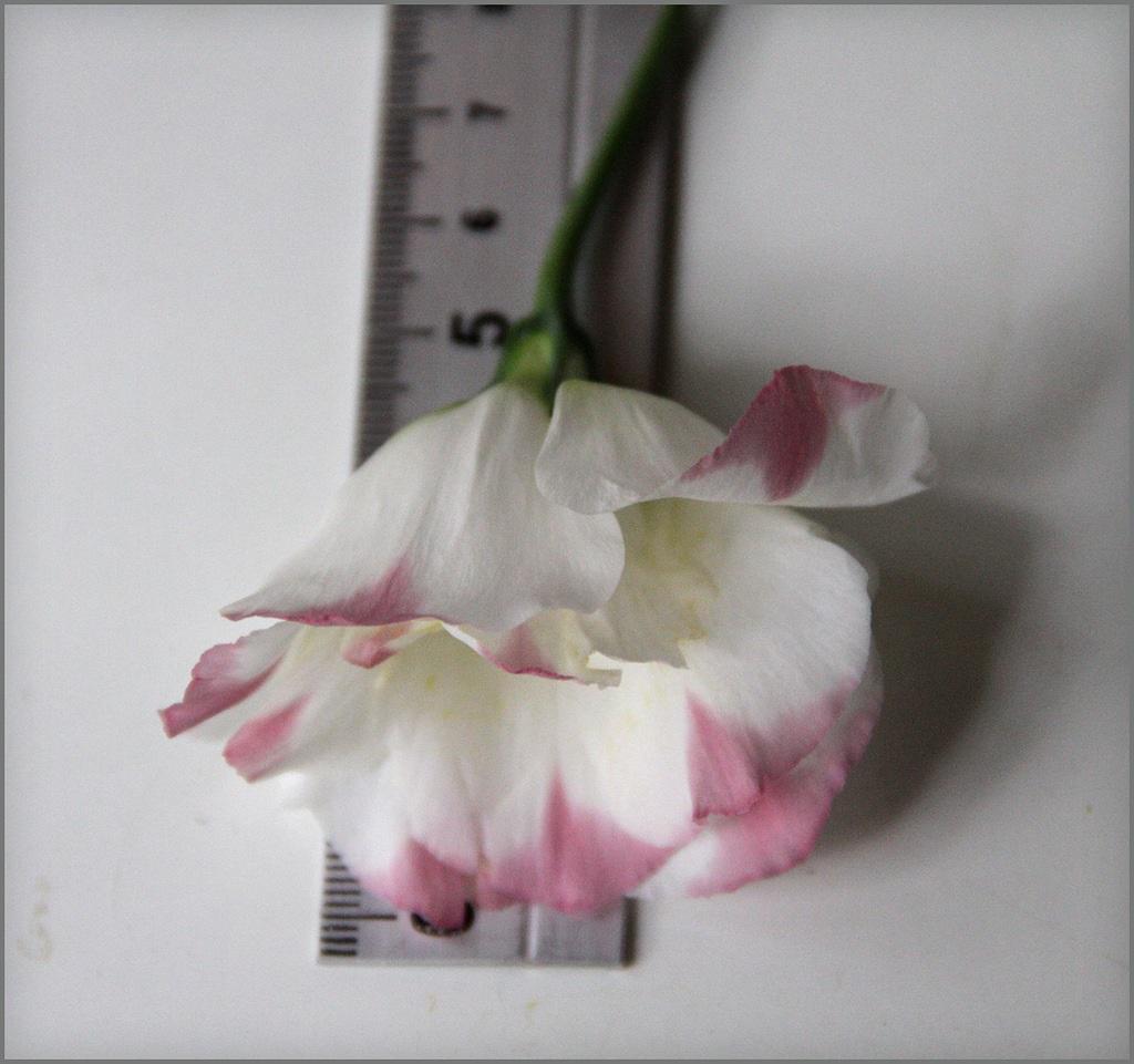Размер цветка лизиантуса