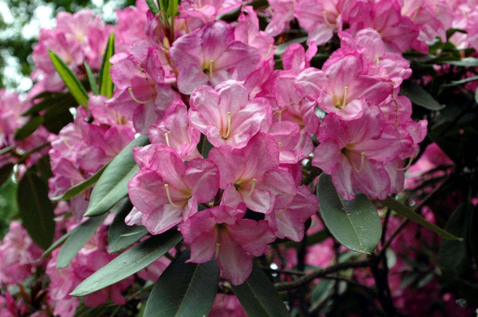 Потрясающие соцветия рододендрона