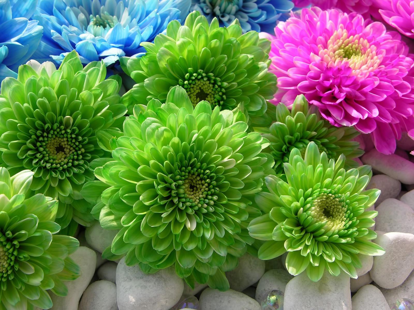 Цветы астры фото