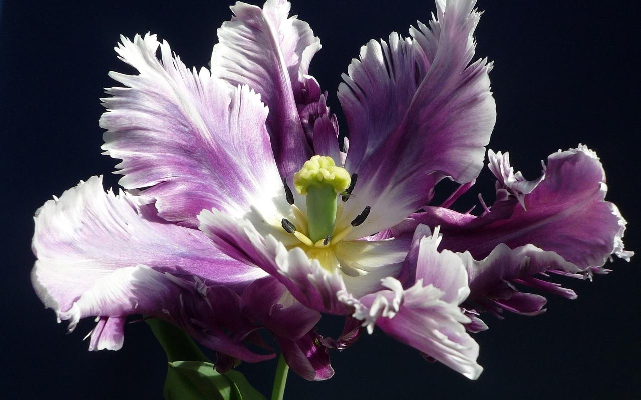 Потрясающий цветущий ирис