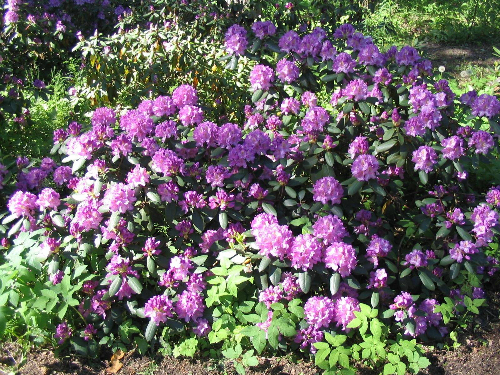 Цветение садового рододендрона