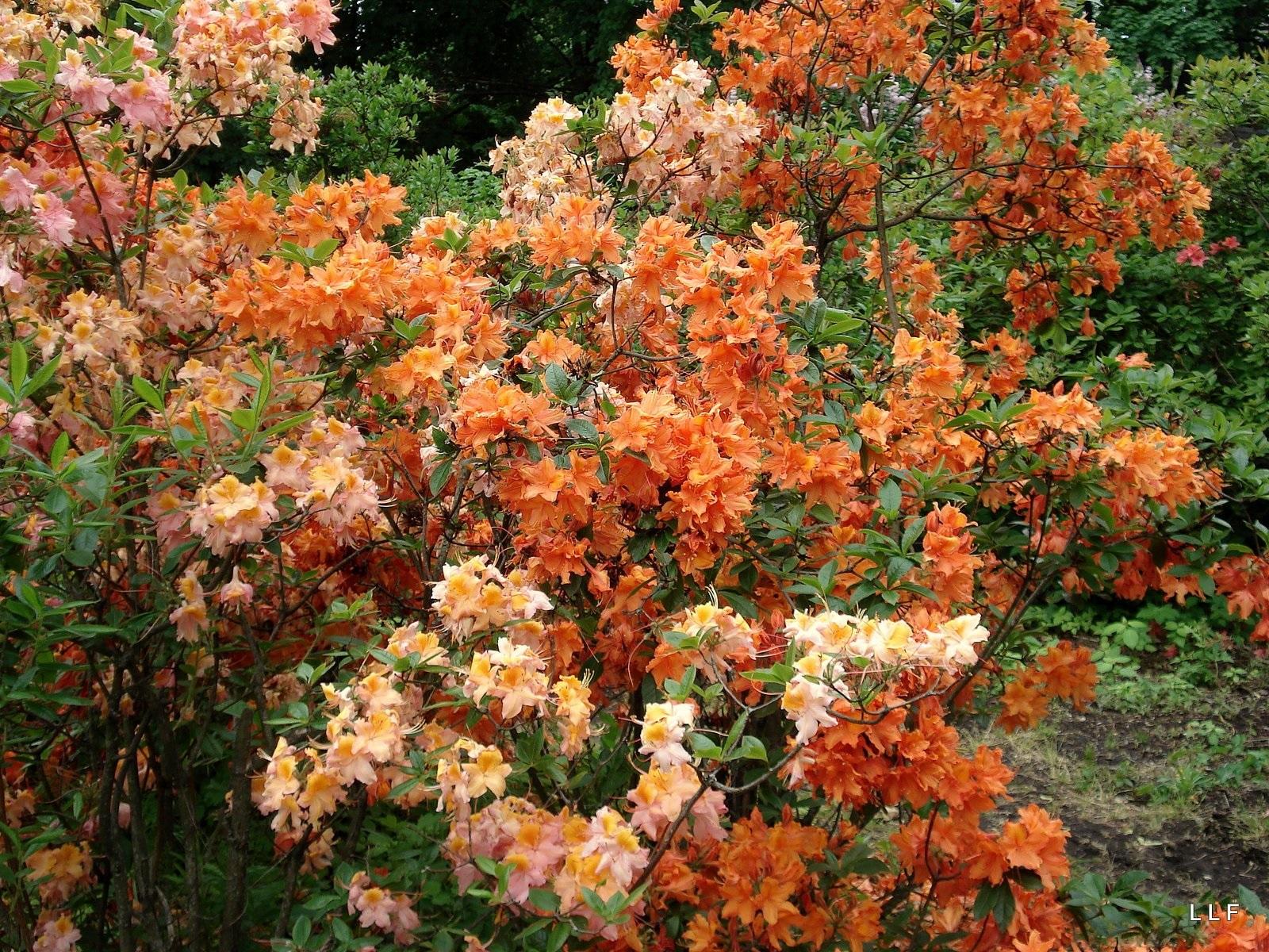 Оттенки оранжевого на лепестках рододендрона