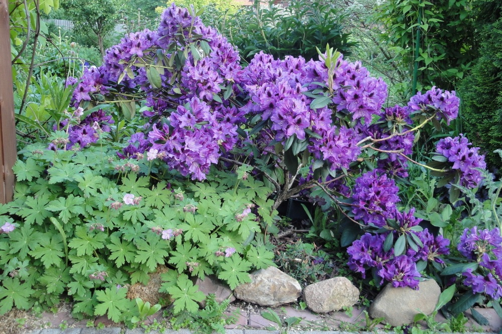 Яркие сиреневые цветы рододендрона