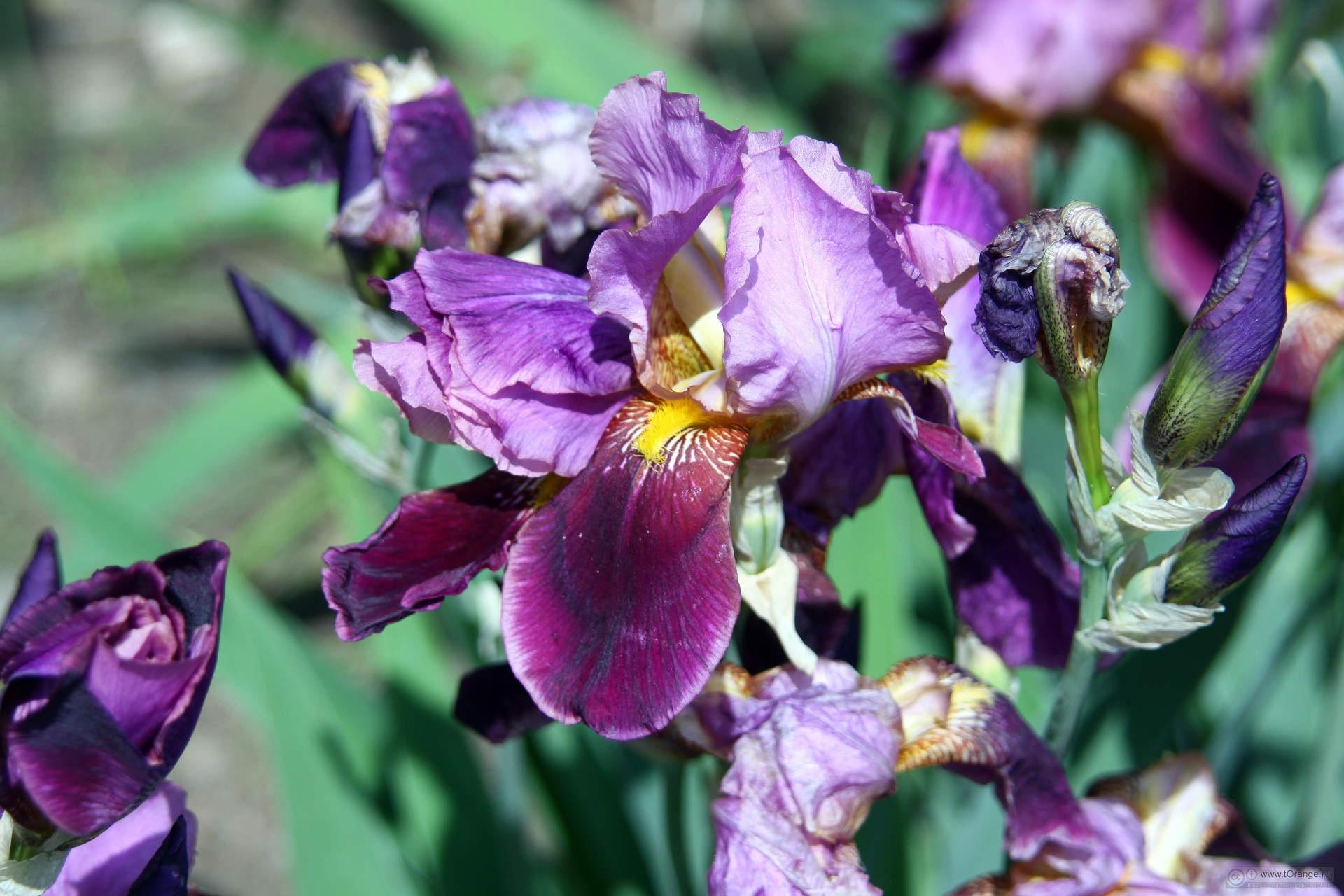 Отцветающие соцветия ириса
