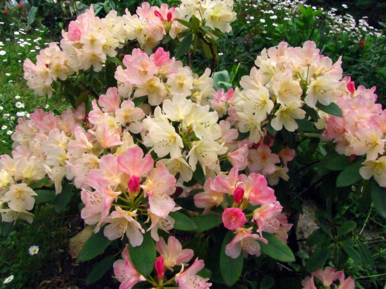Сочетание розового и белого на лепестках рододендрона