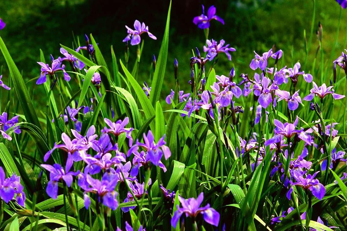 Обилие ирисов в цвету