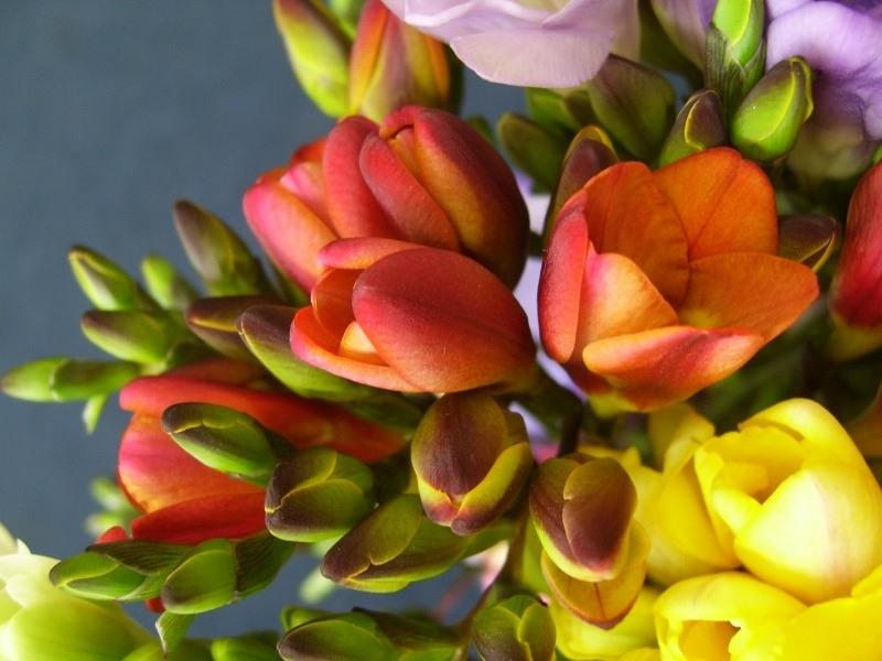 Оранжевые и желтые фрезии