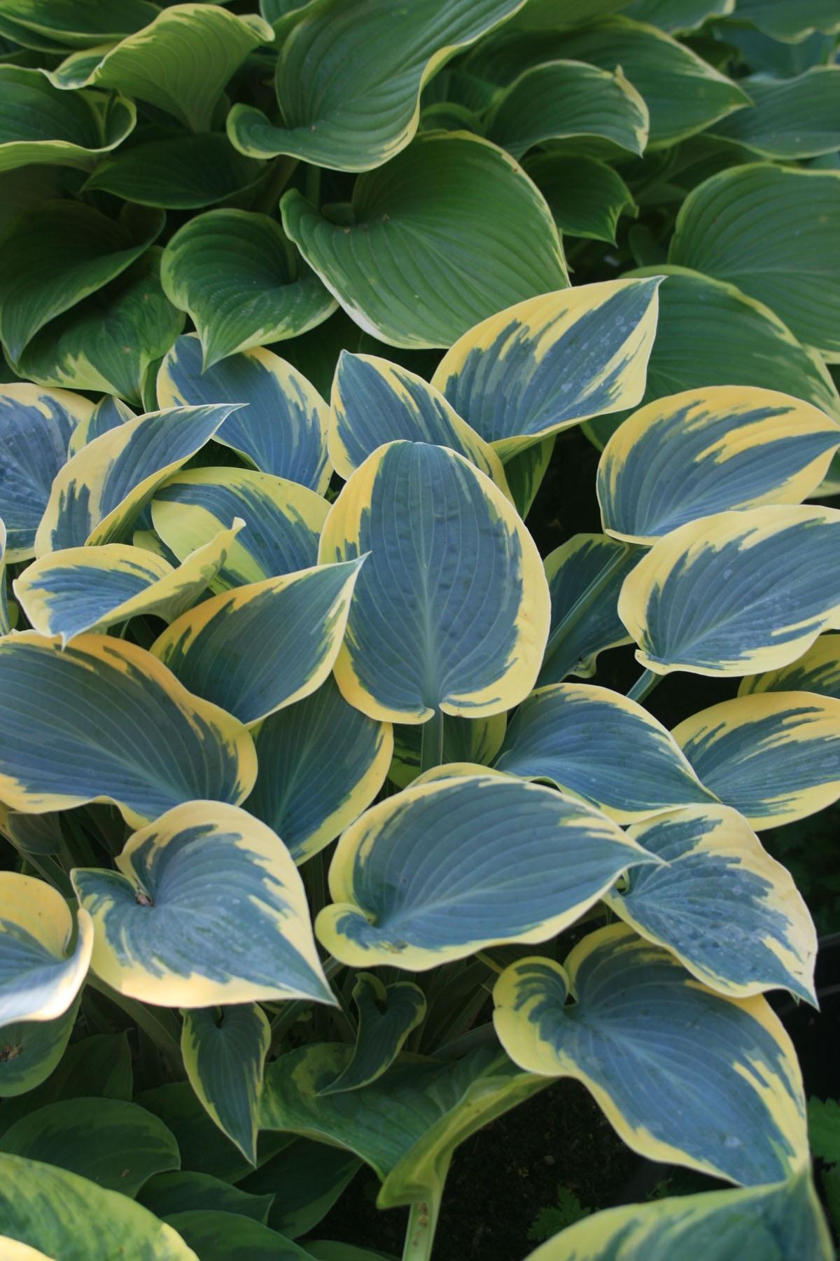 Пестрые листья хосты