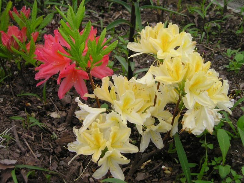 Молодые цветы рододендрона